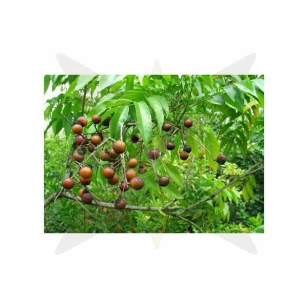 Indian Soap Nuts Sapindus